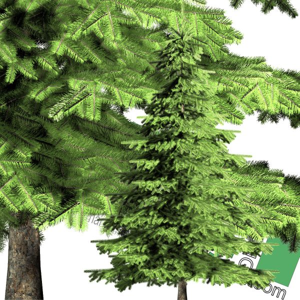 large cut-out pine PNG